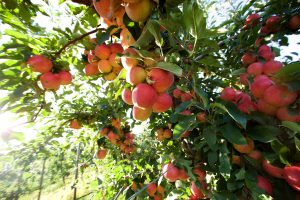 Naturally Grown Okanagan Apples at our Kelowna Apple Orchard